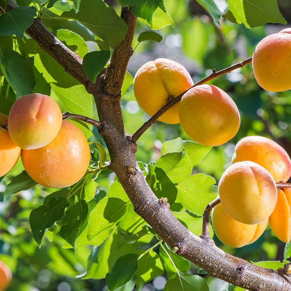 Potash Farm - Peach Fruit Trees