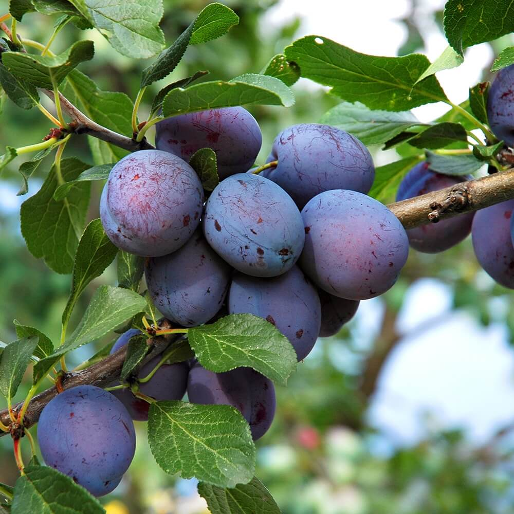 Potash Farm - Plum Fruit Trees