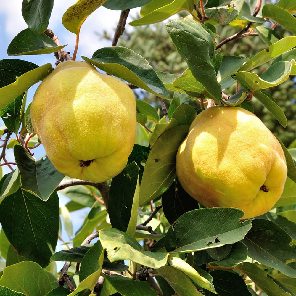 Potash Farm - Quince Fruit Trees