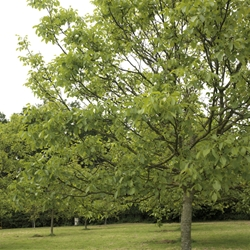 Walnut Timber Trees