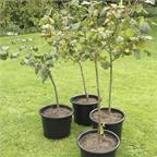 Pot Grown Gunselbert Cobnut Trees