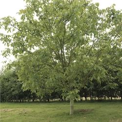 Walnut timber tree mj209 hybrid the walnut tree co - Growing french walnuts for a profit ...