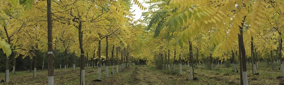 Walnut trees for the timber | The Walnut Tree Co