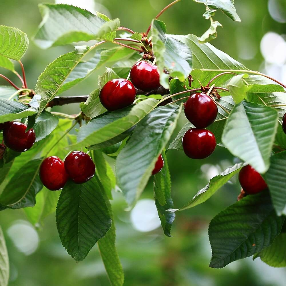 Cherry Fruit Trees - The Walnut Tree Co. can supply a selection of fruit trees varieties.
