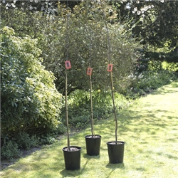 Sweet Chestnut Trees   The Walnut Tree Co