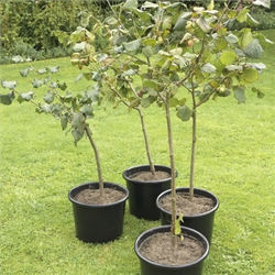 Pot Grown Gunselbert Cobnut Trees
